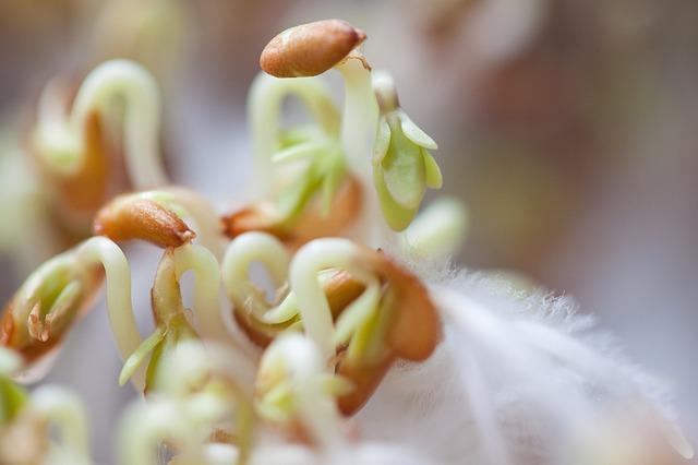 sazenice řeřichy