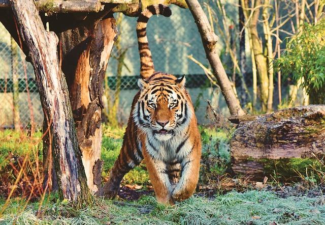jdoucí tygr